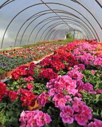 Pépinière plantes annuelles et bisannuelles